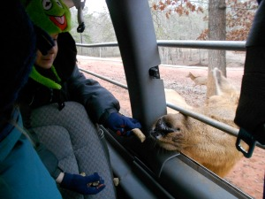 my son feeding a reindeer
