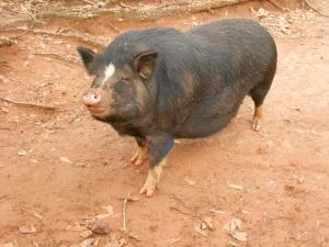 a very well fed piggy!