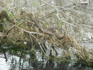 a crazy big brown snake that apparently was not a water moccasin