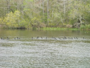 a bunch of old coots (I just liked the name of these - reminds me of something I would hear at a retirement home)