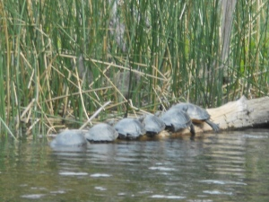 6 little turtles all in a row