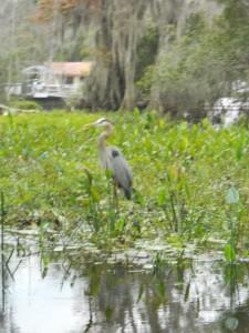 a rare blue heron