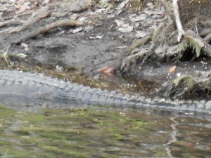 if you look closely behind this mama alligator, in between her and the shore, you can see that she is guarding two of her little babies (they are tiny and striped)