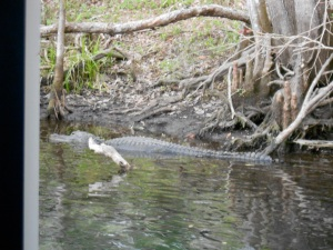 just one of the many alligators we saw